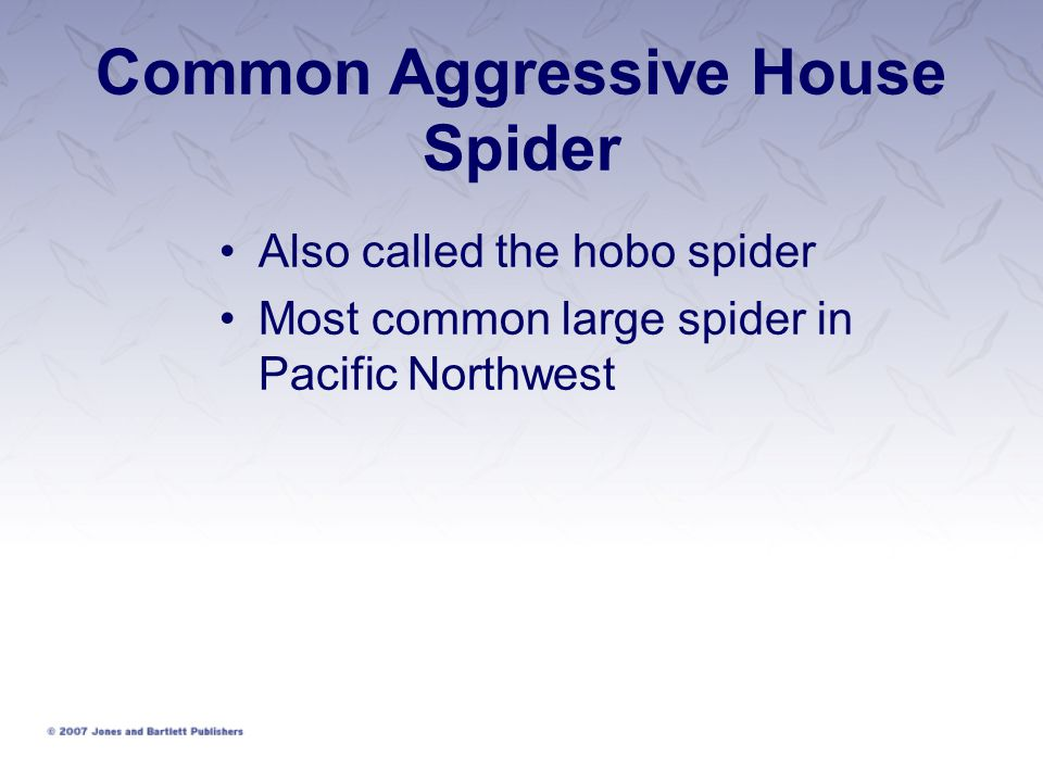 Common Aggressive House Spider Also called the hobo spider Most common large spider in Pacific Northwest