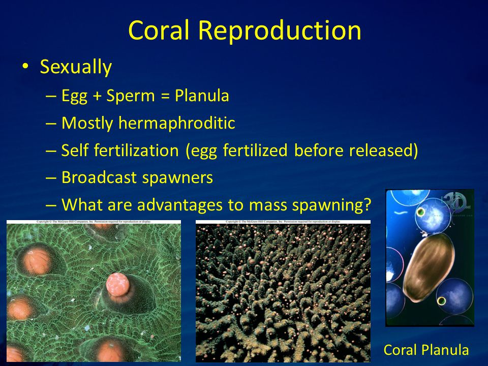 Coral Reproduction Sexually – Egg + Sperm = Planula – Mostly hermaphroditic – Self fertilization (egg fertilized before released) – Broadcast spawners – What are advantages to mass spawning.