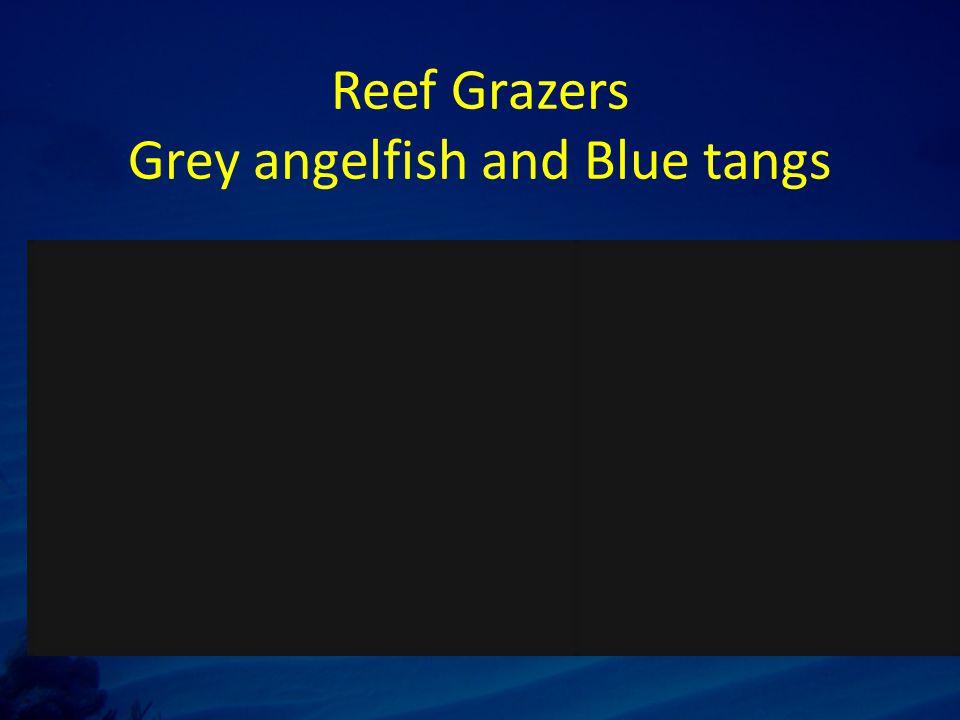 Reef Grazers Grey angelfish and Blue tangs