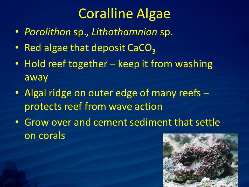 Coralline Algae Porolithon sp., Lithothamnion sp.