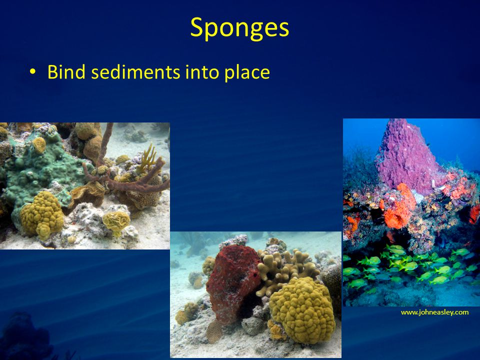 Sponges Bind sediments into place www.johneasley.com