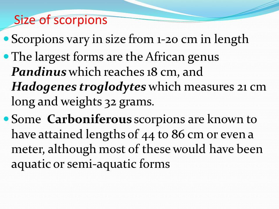 Size of scorpions Scorpions vary in size from 1-20 cm in length The largest forms are the African genus Pandinus which reaches 18 cm, and Hadogenes tr