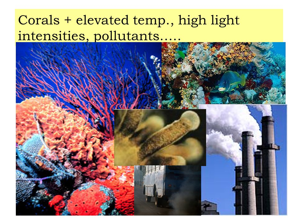 Corals + elevated temp., high light intensities, pollutants…..