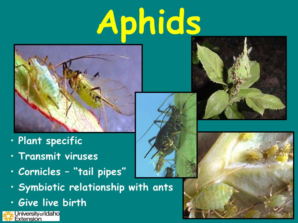Aphids Plant specific Transmit viruses Cornicles – tail pipes Symbiotic relationship with ants Give live birth