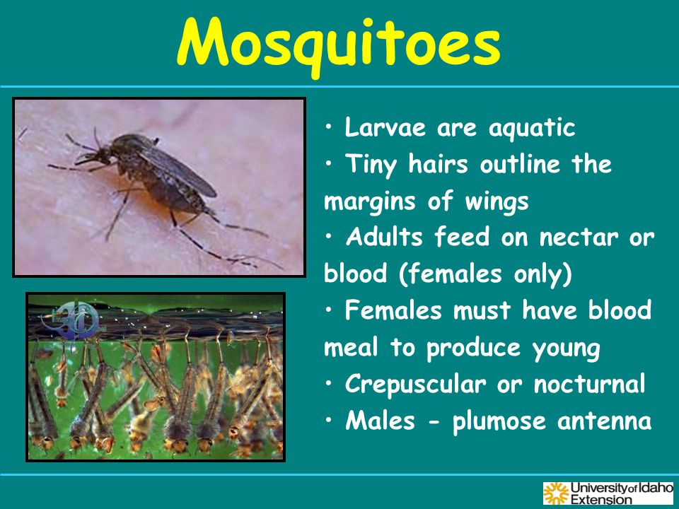 Mosquitoes Larvae are aquatic Tiny hairs outline the margins of wings Adults feed on nectar or blood (females only) Females must have blood meal to produce young Crepuscular or nocturnal Males - plumose antenna