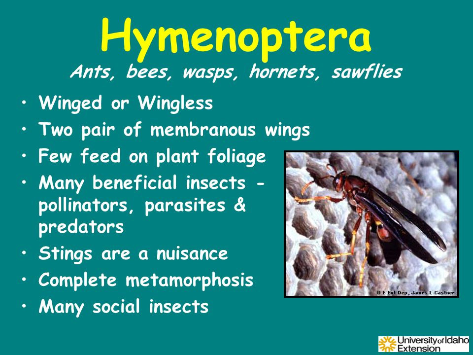 Hymenoptera Winged or Wingless Two pair of membranous wings Few feed on plant foliage Many beneficial insects - pollinators, parasites & predators Stings are a nuisance Complete metamorphosis Many social insects Ants, bees, wasps, hornets, sawflies