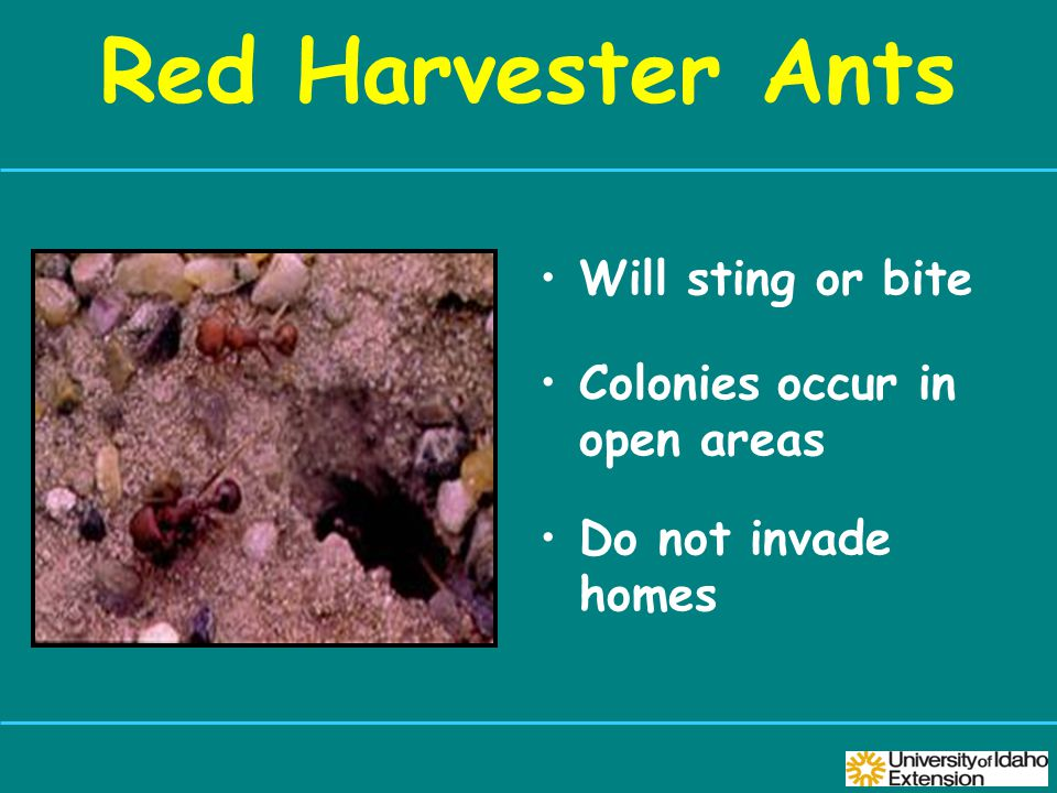 Red Harvester Ants Will sting or bite Colonies occur in open areas Do not invade homes