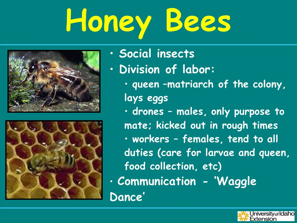 Honey Bees Social insects Division of labor: queen –matriarch of the colony, lays eggs drones – males, only purpose to mate; kicked out in rough times workers – females, tend to all duties (care for larvae and queen, food collection, etc) Communication - 'Waggle Dance'
