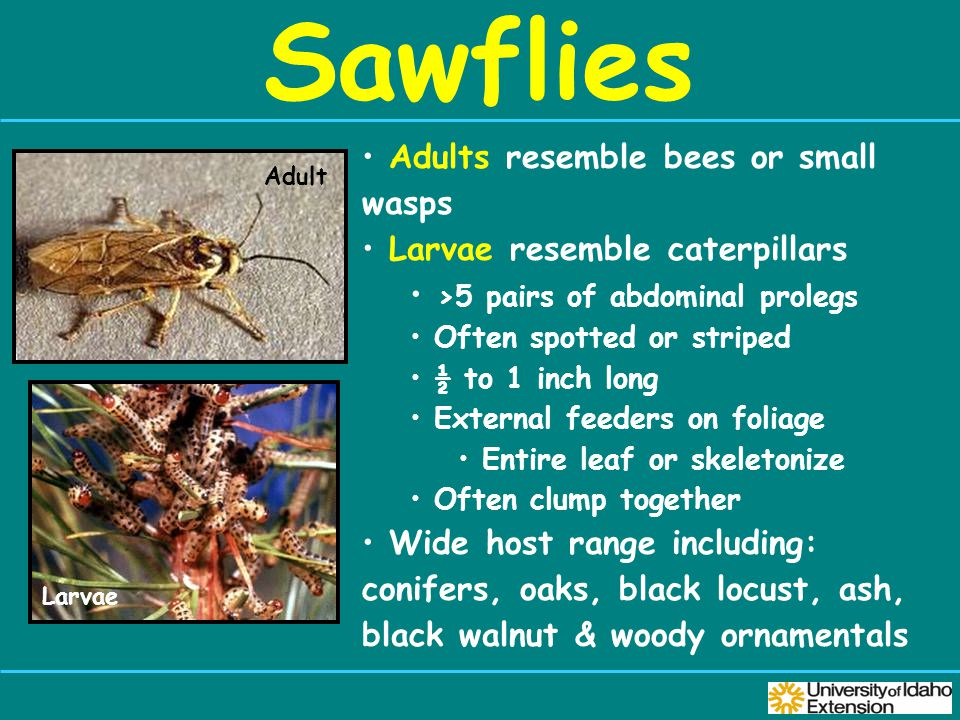 Sawflies Adult Adults resemble bees or small wasps Larvae resemble caterpillars >5 pairs of abdominal prolegs Often spotted or striped ½ to 1 inch long External feeders on foliage Entire leaf or skeletonize Often clump together Wide host range including: conifers, oaks, black locust, ash, black walnut & woody ornamentals Larvae