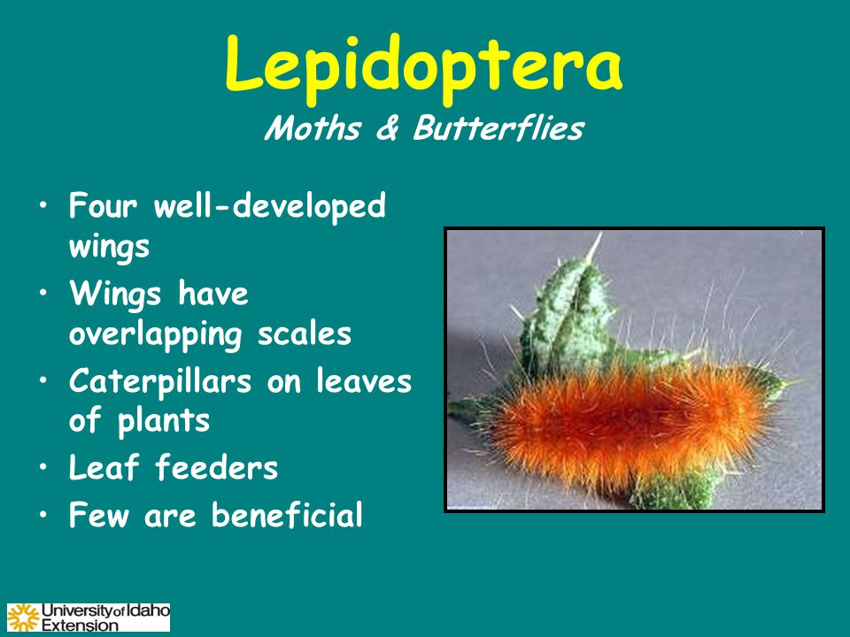Lepidoptera Four well-developed wings Wings have overlapping scales Caterpillars on leaves of plants Leaf feeders Few are beneficial Moths & Butterflies