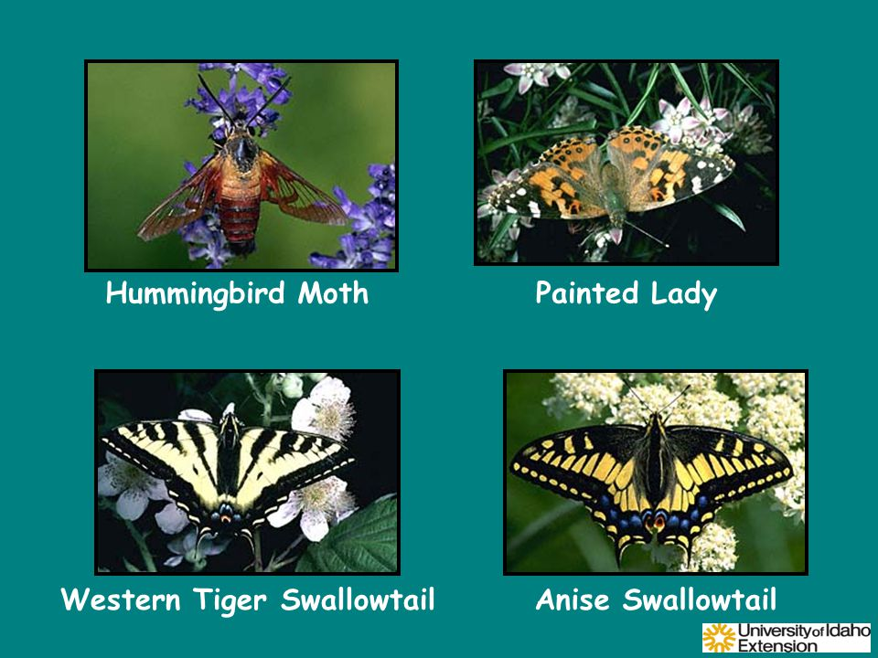 Western Tiger SwallowtailAnise Swallowtail Hummingbird MothPainted Lady