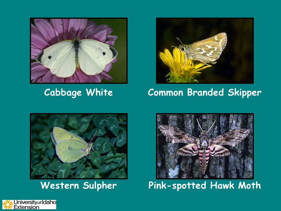 Cabbage WhiteCommon Branded Skipper Western SulpherPink-spotted Hawk Moth
