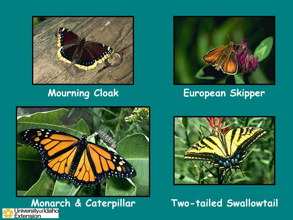 Mourning CloakEuropean Skipper Monarch & CaterpillarTwo-tailed Swallowtail