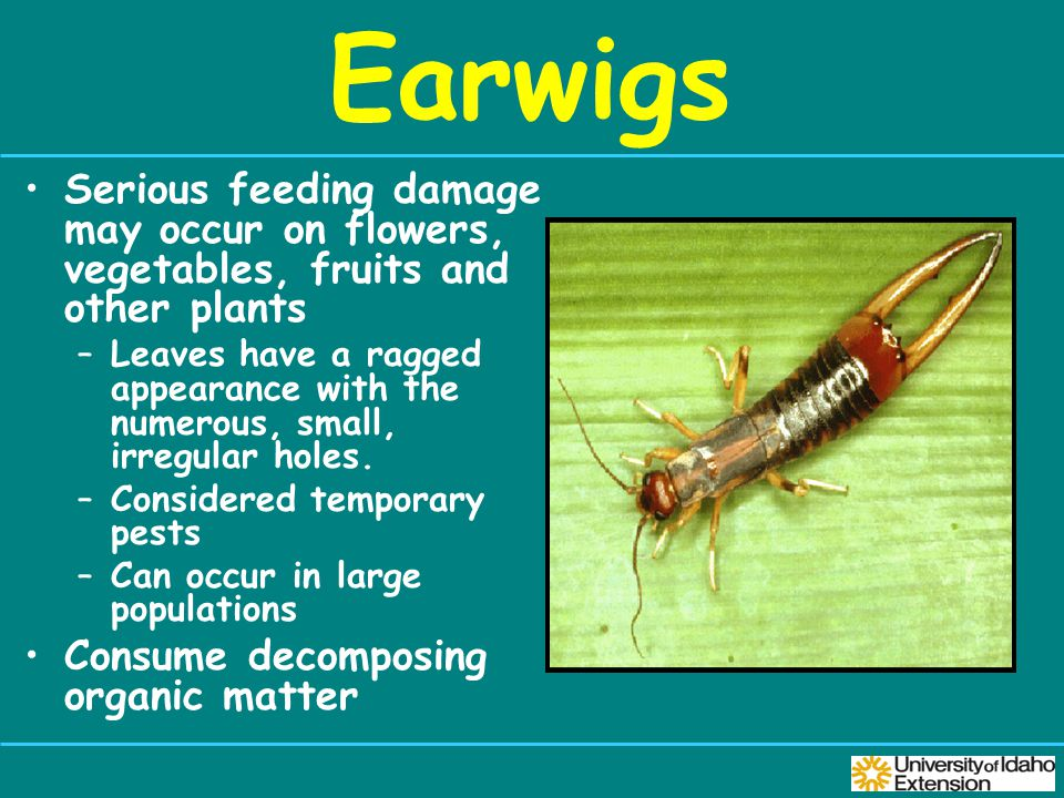 Earwigs Serious feeding damage may occur on flowers, vegetables, fruits and other plants –Leaves have a ragged appearance with the numerous, small, irregular holes.