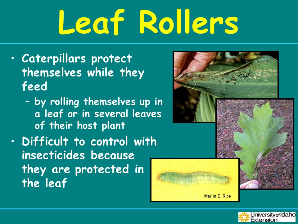 Leaf Rollers Caterpillars protect themselves while they feed –by rolling themselves up in a leaf or in several leaves of their host plant Difficult to control with insecticides because they are protected in the leaf Marlin E.
