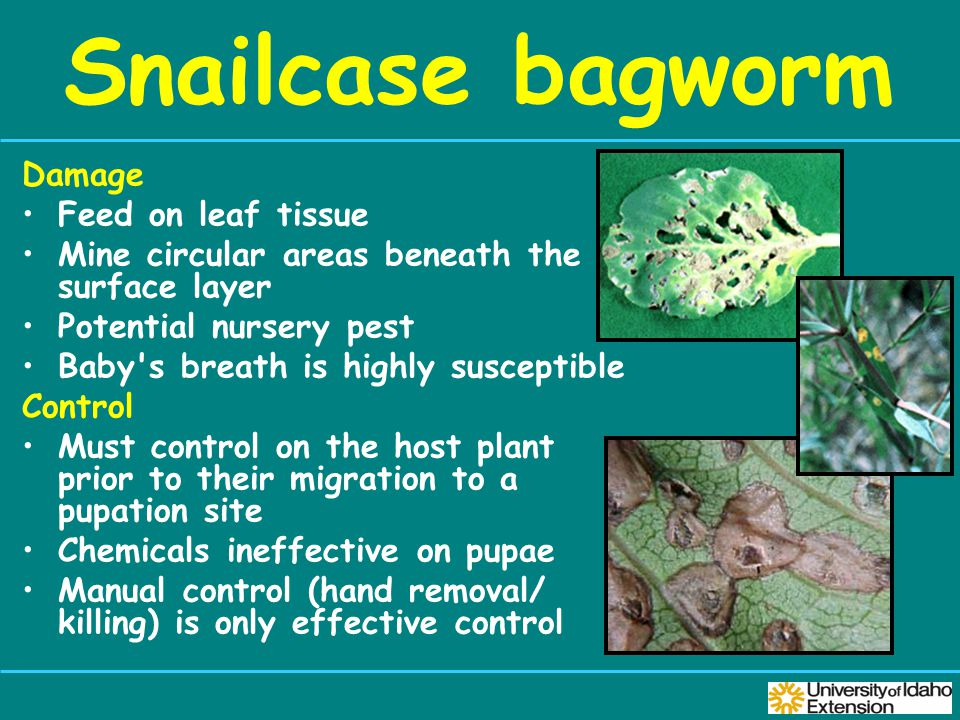 Snailcase bagworm Damage Feed on leaf tissue Mine circular areas beneath the surface layer Potential nursery pest Baby s breath is highly susceptible Control Must control on the host plant prior to their migration to a pupation site Chemicals ineffective on pupae Manual control (hand removal/ killing) is only effective control