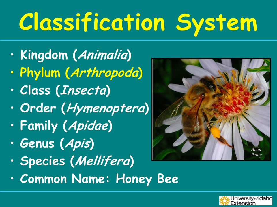 Classification System Kingdom (Animalia) Phylum (Arthropoda) Class (Insecta) Order (Hymenoptera) Family (Apidae) Genus (Apis) Species (Mellifera) Common Name: Honey Bee