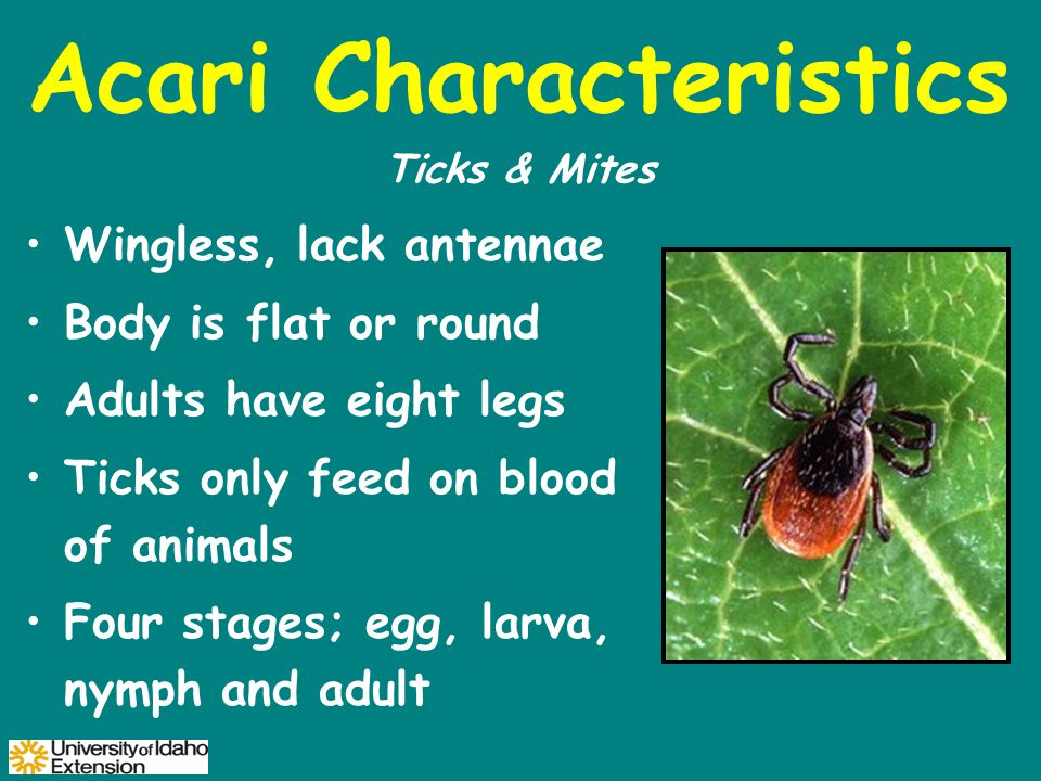Acari Characteristics Wingless, lack antennae Body is flat or round Adults have eight legs Ticks only feed on blood of animals Four stages; egg, larva, nymph and adult Ticks & Mites