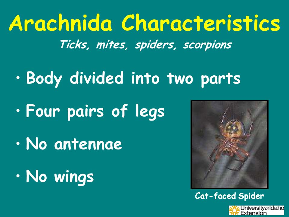 Arachnida Characteristics Body divided into two parts Four pairs of legs No antennae No wings Ticks, mites, spiders, scorpions Cat-faced Spider