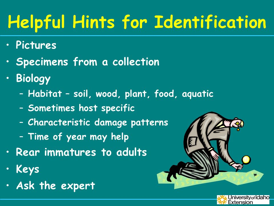 Helpful Hints for Identification Pictures Specimens from a collection Biology –Habitat – soil, wood, plant, food, aquatic –Sometimes host specific –Characteristic damage patterns –Time of year may help Rear immatures to adults Keys Ask the expert