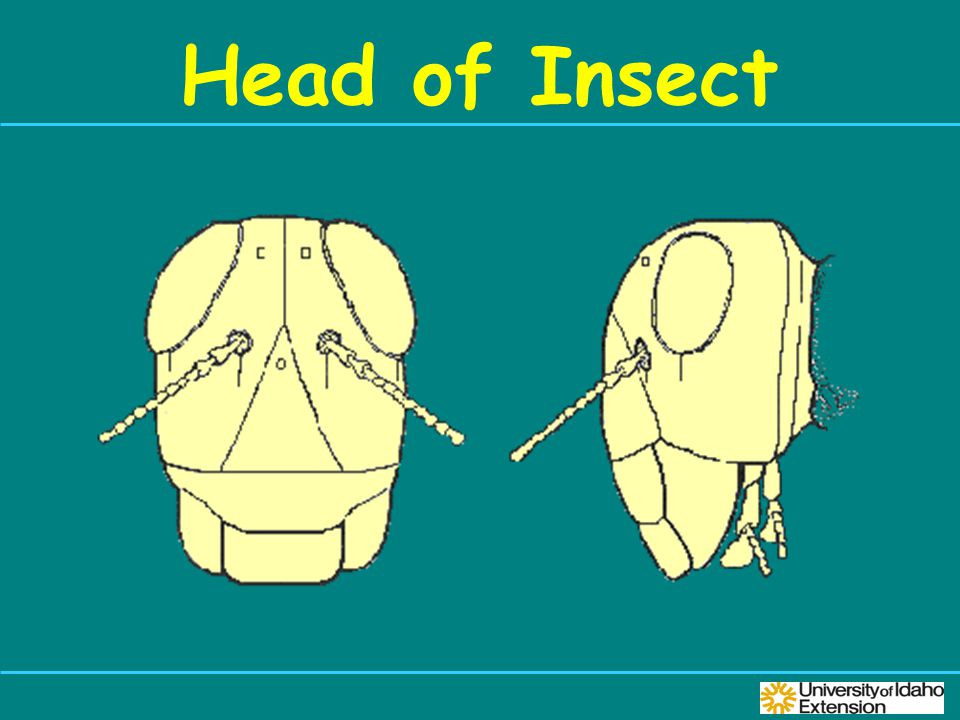 Head of Insect