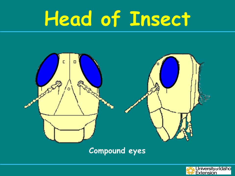 Head of Insect Compound eyes