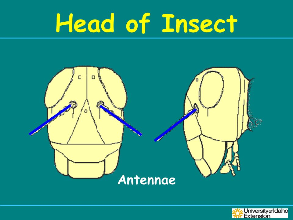 Head of Insect Antennae