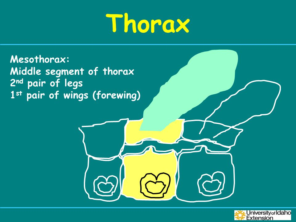 Thorax Mesothorax: Middle segment of thorax 2 nd pair of legs 1 st pair of wings (forewing)