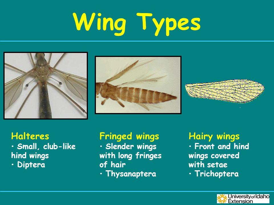 Wing Types Halteres Small, club-like hind wings Diptera Fringed wings Slender wings with long fringes of hair Thysanaptera Hairy wings Front and hind wings covered with setae Trichoptera