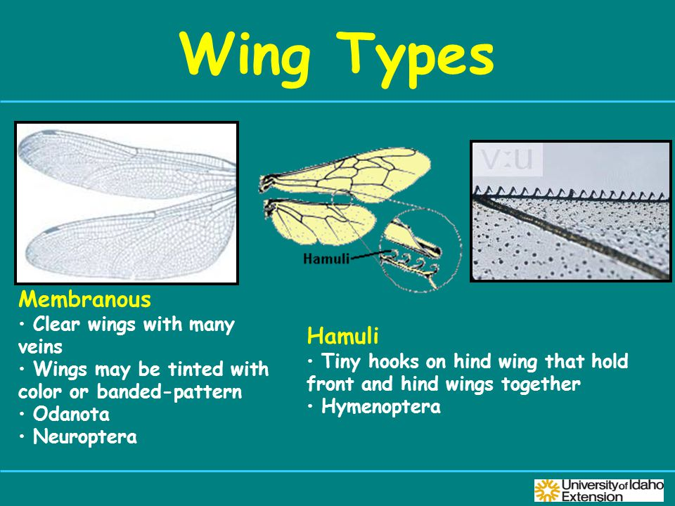 Wing Types Hamuli Tiny hooks on hind wing that hold front and hind wings together Hymenoptera Membranous Clear wings with many veins Wings may be tinted with color or banded-pattern Odanota Neuroptera
