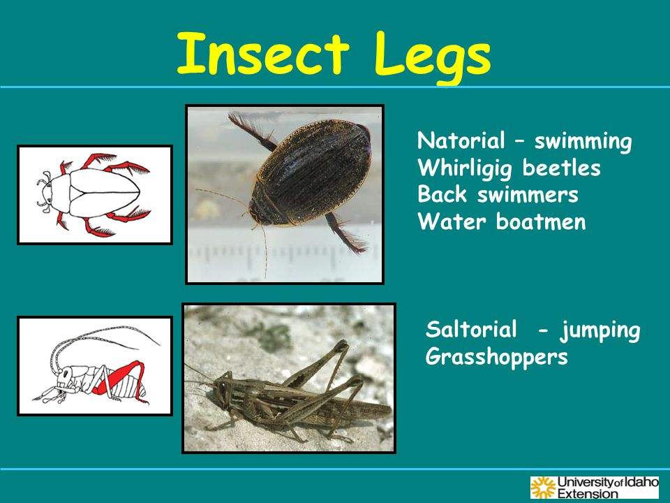 Insect Legs Natorial – swimming Whirligig beetles Back swimmers Water boatmen Saltorial - jumping Grasshoppers