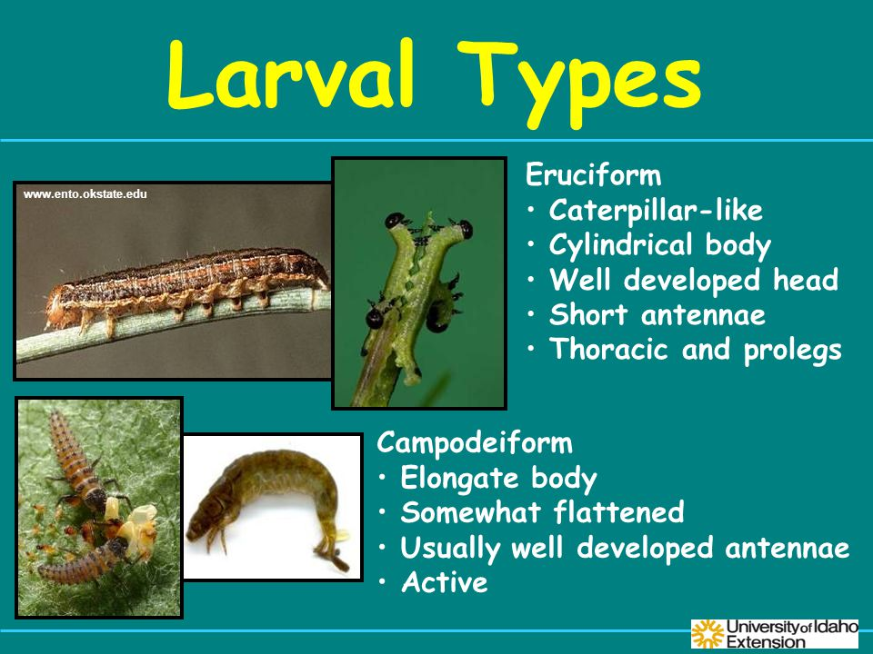 Larval Types www.ento.okstate.edu Eruciform Caterpillar-like Cylindrical body Well developed head Short antennae Thoracic and prolegs Campodeiform Elongate body Somewhat flattened Usually well developed antennae Active