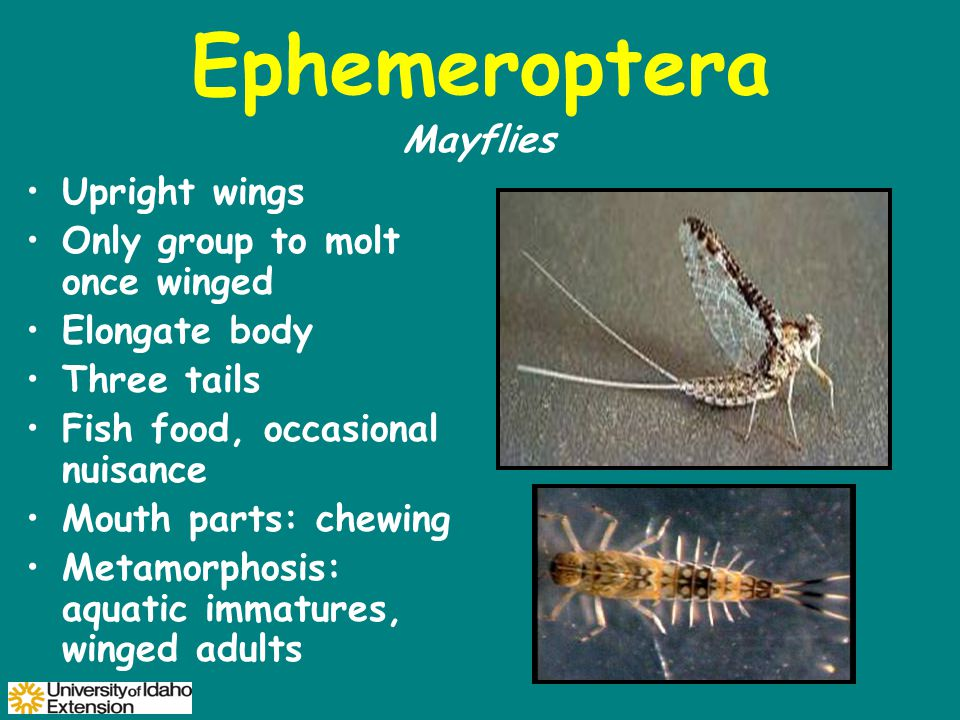 Ephemeroptera Upright wings Only group to molt once winged Elongate body Three tails Fish food, occasional nuisance Mouth parts: chewing Metamorphosis: aquatic immatures, winged adults Mayflies