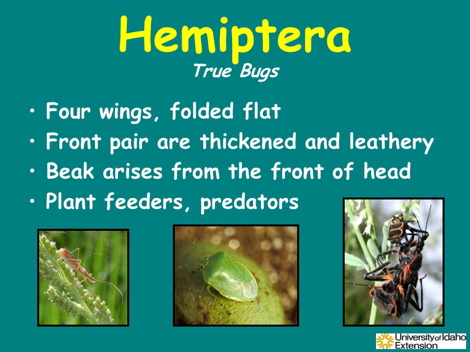 Hemiptera Four wings, folded flat Front pair are thickened and leathery Beak arises from the front of head Plant feeders, predators True Bugs