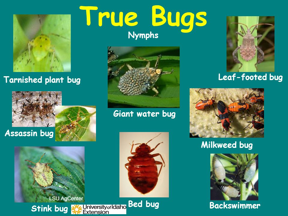 True Bugs Backswimmer Bed bug Stink bug Leaf-footed bug Tarnished plant bug Giant water bug Assassin bug Milkweed bug Nymphs