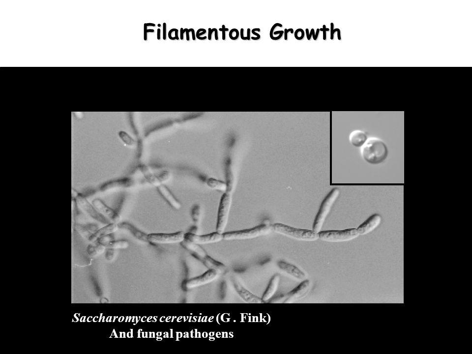 Filamentous Growth In Yeast Ras Flo11