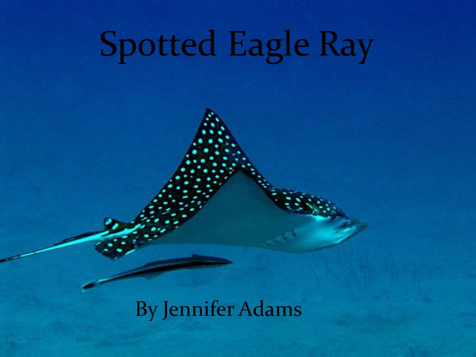 Spotted Eagle Ray By Jennifer Adams