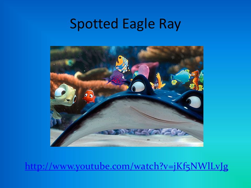Spotted Eagle Ray http://www.youtube.com/watch v=jKf5NWlLvJg
