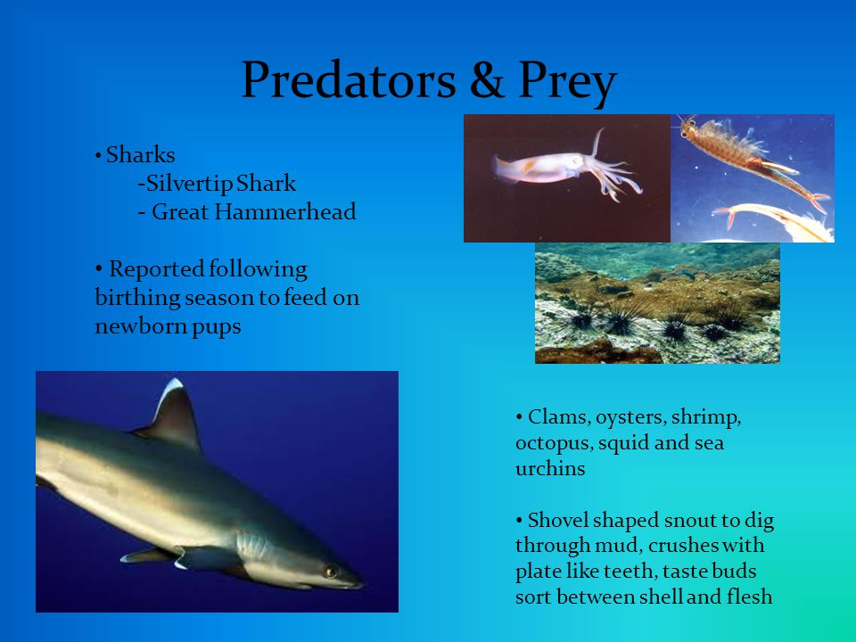 Predators & Prey Sharks -Silvertip Shark - Great Hammerhead Reported following birthing season to feed on newborn pups Clams, oysters, shrimp, octopus, squid and sea urchins Shovel shaped snout to dig through mud, crushes with plate like teeth, taste buds sort between shell and flesh