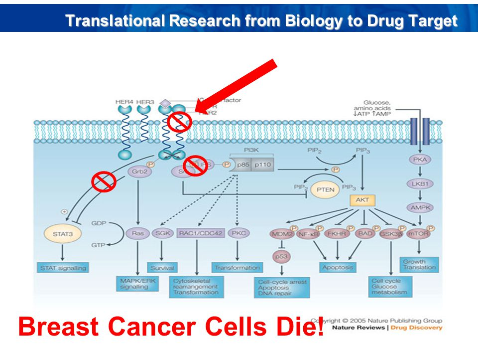 Breast Cancer Cells Die! Translational Research from Biology to Drug Target