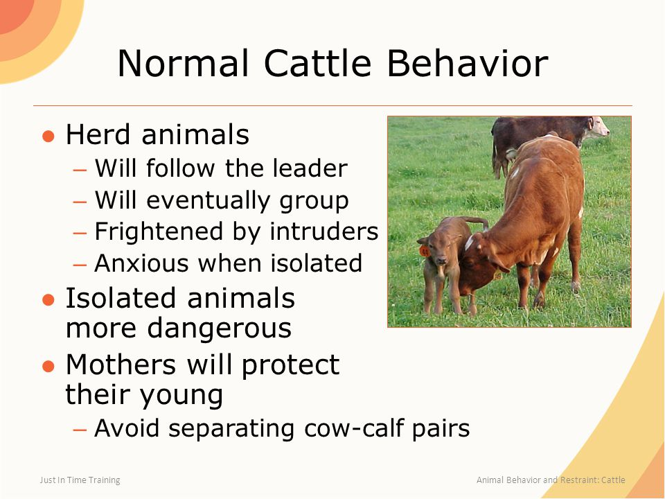 Normal Cattle Behavior ●Herd animals – Will follow the leader – Will eventually group – Frightened by intruders – Anxious when isolated ●Isolated anim