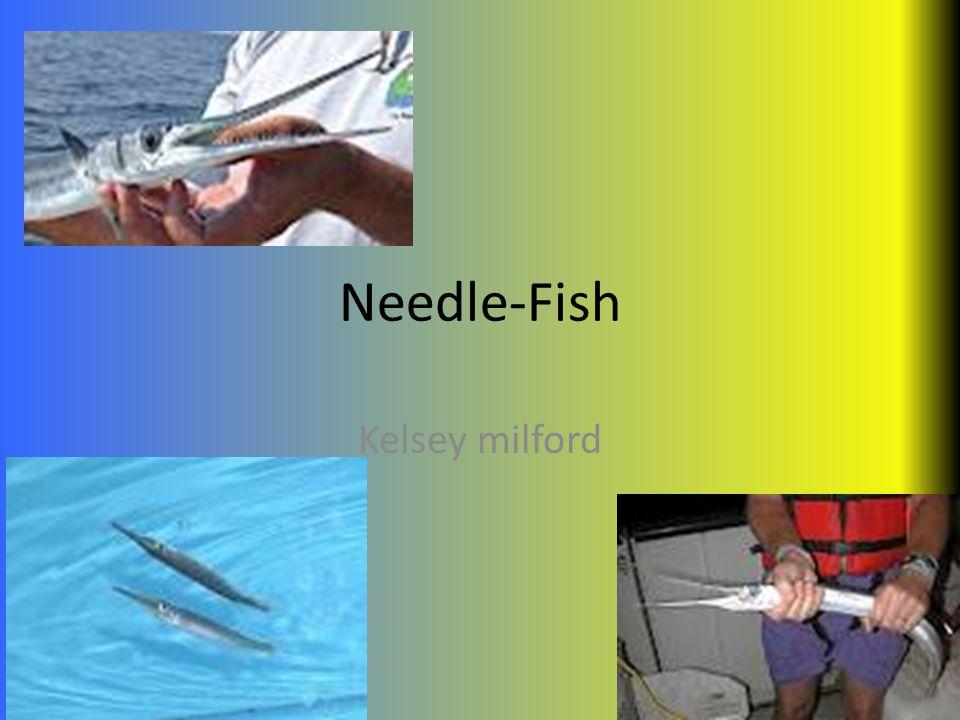 Needle-Fish Kelsey milford