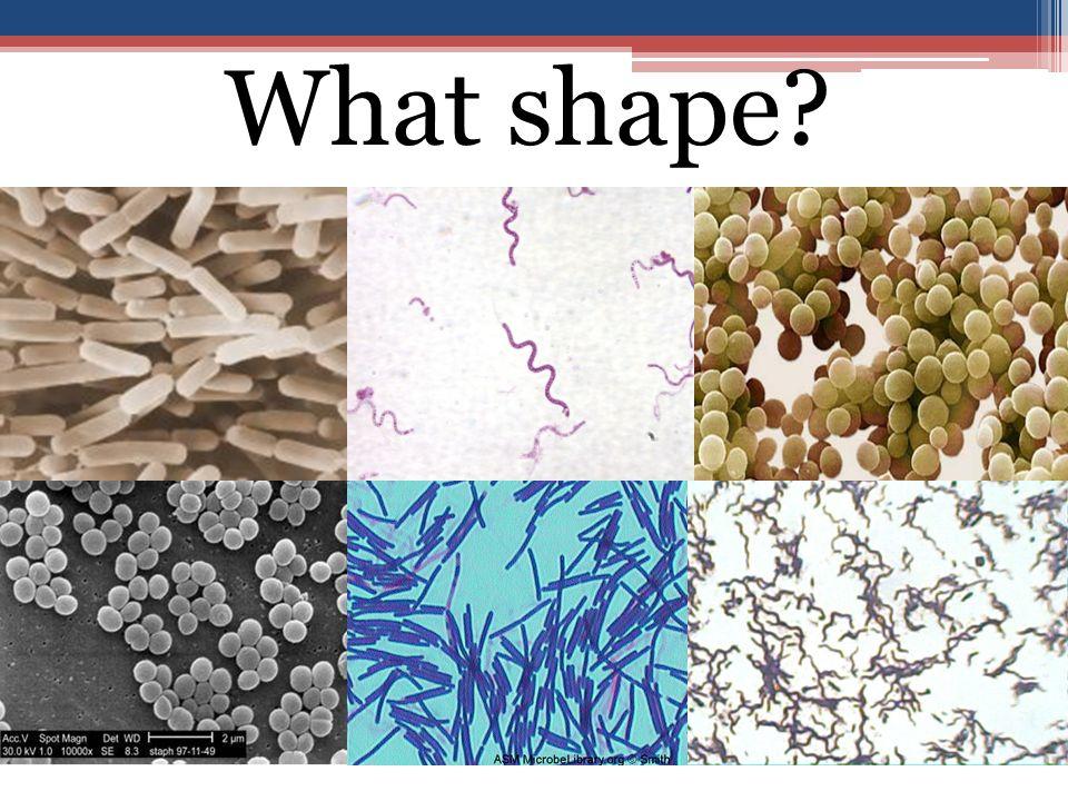coccusbacillus spirillu m coccusspirillu m bacillus What shape?
