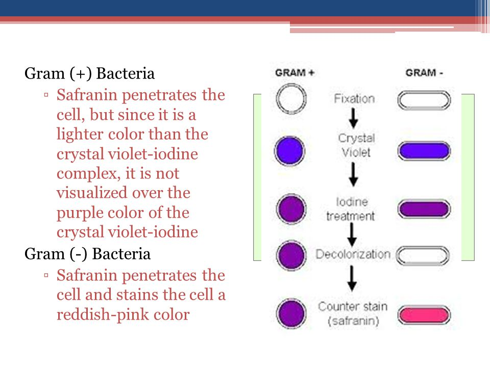 Gram (+) Bacteria ▫Safranin penetrates the cell, but since it is a lighter color than the crystal violet-iodine complex, it is not visualized over the purple color of the crystal violet-iodine Gram (-) Bacteria ▫Safranin penetrates the cell and stains the cell a reddish-pink color