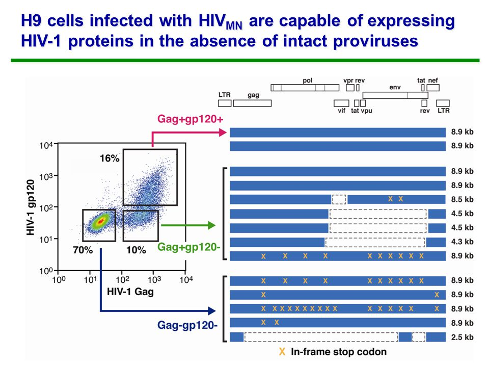H9 cells infected with HIV MN are capable of expressing HIV-1 proteins in the absence of intact proviruses