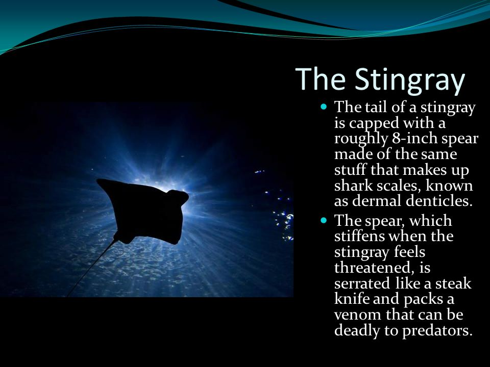 The Stingray The tail of a stingray is capped with a roughly 8-inch spear made of the same stuff that makes up shark scales, known as dermal denticles