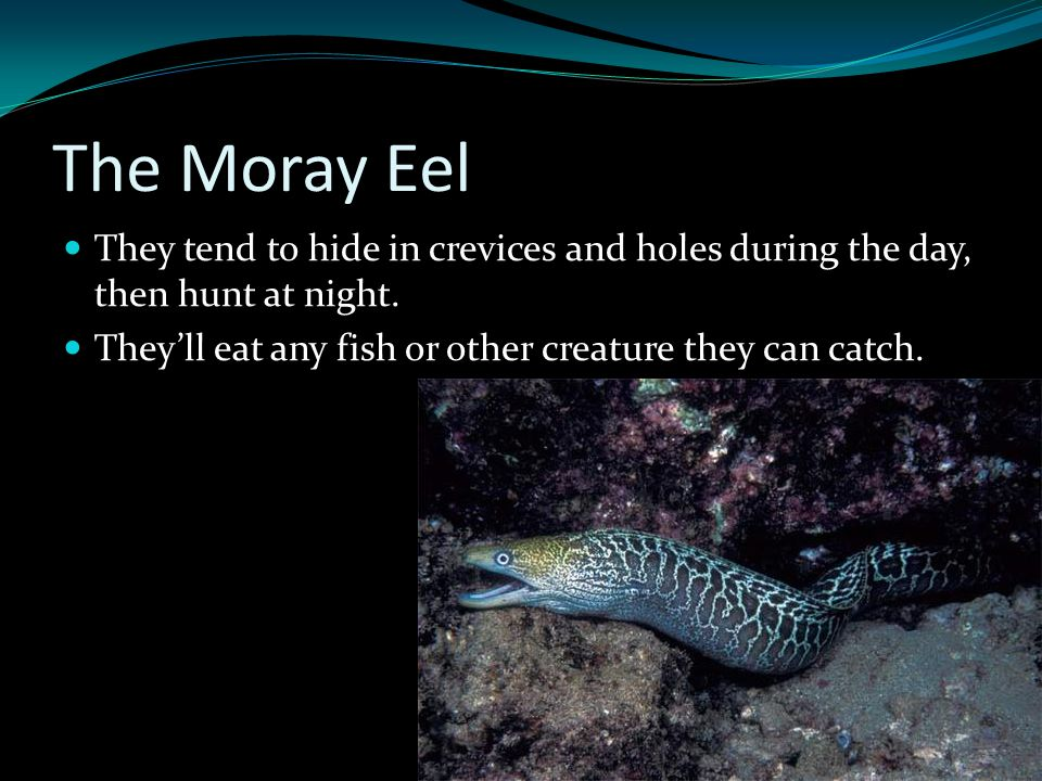 The Moray Eel They tend to hide in crevices and holes during the day, then hunt at night. They'll eat any fish or other creature they can catch.