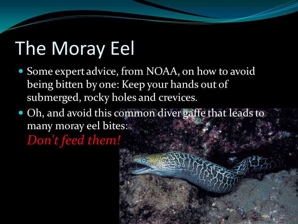 The Moray Eel Some expert advice, from NOAA, on how to avoid being bitten by one: Keep your hands out of submerged, rocky holes and crevices. Don't fe