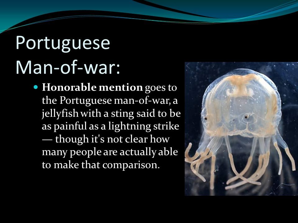 Portuguese Man-of-war: Honorable mention goes to the Portuguese man-of-war, a jellyfish with a sting said to be as painful as a lightning strike — tho