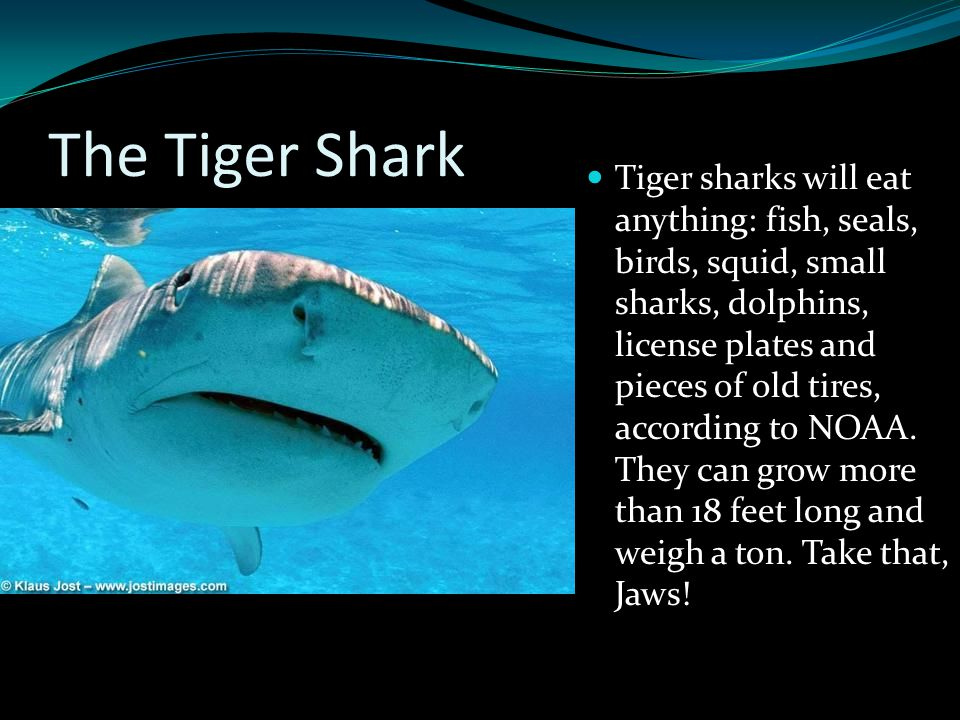 The Tiger Shark Tiger sharks will eat anything: fish, seals, birds, squid, small sharks, dolphins, license plates and pieces of old tires, according t